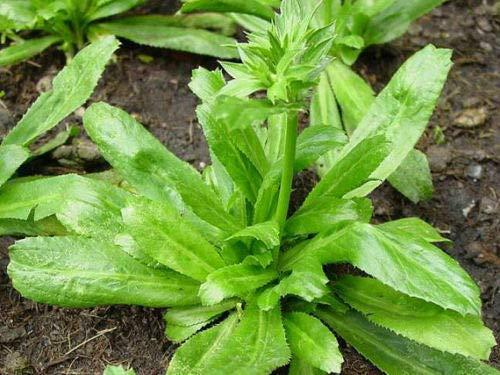 PLAT FIRM Germination Les graines: Longue Coriandre 5000 graines féTide Eryngium Thai Coriandre Culantro + Bateau Libre