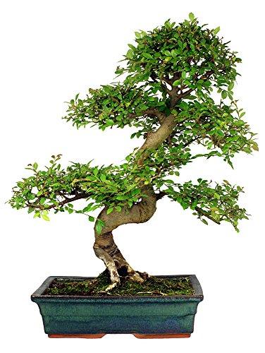 Chinesische Ulme 10 Samen (Ulmus parvifolia) perfekt für Bonsai