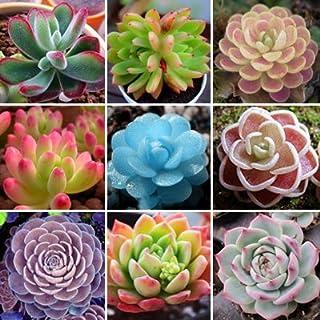 Semillas De Flores 50 Lithops Seed Pseudotruncatella suculentas primas Piedra Cactus Semillas Los tallos de las flores en ...