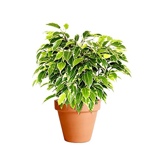 Ficus Benjamina Variegata con Maceta de Cerámica Ficus Benjamina Kinky Planta de Interior