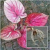 1 Ampoules Thai Caladium Plantes fraîches, Reine du feuillu « Tongdan » Fleurs fraîches Plantes