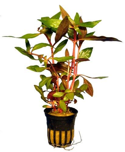 1 Bund Alternanthera roseifolia, Rotblättriges Papageien, Aquarium-Pflanzen