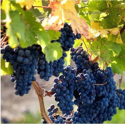 50 pcs/lot de raisin rouge doux Graines avancée Fruit graines croissance naturelle de raisin délicieux fruits de jardinage Plantes 4