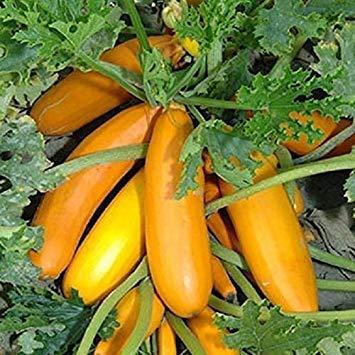 SANHOC Graines Paquet: SeeKay Courgette Atena Polka F1-30 graines - VegetableSEED