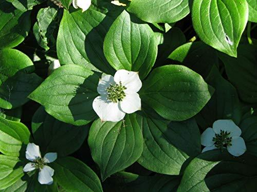 Kanadischer Hartriegel Cornus canadensis Pflanze 5-10cm Teppich-Hartriegel
