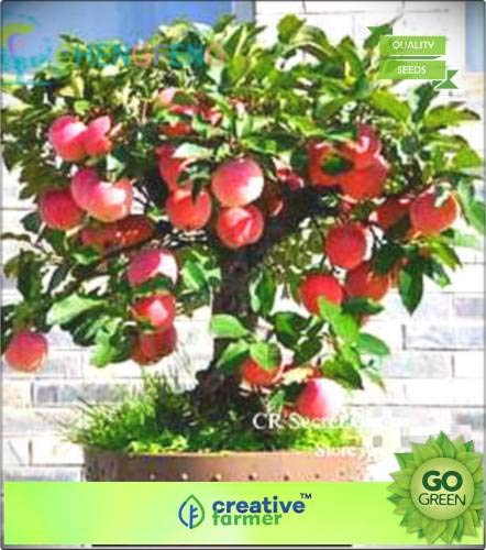 Pinkdose d'Apple Seeds - Graines semences Seb