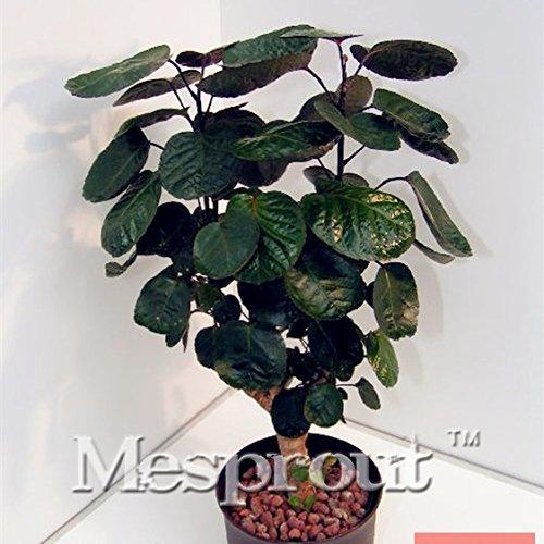 Preisvergleich Produktbild Rundblättriger Sen Nanyang Samen Bonsai Samen 50 Gastonia Kiefer Bailey Bonsai Baum Grove Rundblättriger,  Heimwerken Home Gartenarbeit