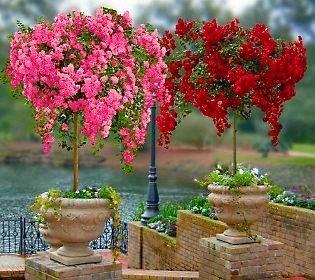 VISTARIC di vendita caldo 10 pz Semi giapponesi sakura orientale di ciliegio in fiore semi Bonsai Piante in vaso per per Flower Pot Fioriere