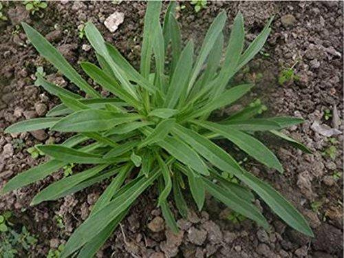 Légumes semences MianTiaoCai soin de légumes / sac frais et délicieux beauté pour élever 30PCS de couleur