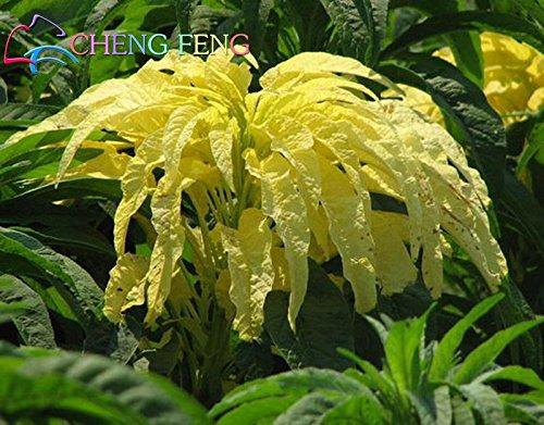 La vente de 100 / sac Callaloo jamaïcain Graines d'amarante Graines rares Plantes Heirloom récoltées pour jardin Mini Bonsai Watch & Edible
