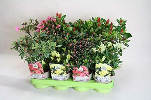 Japanische Azalee Rhododendron obtusum 1 Stück Brillant Rosa T11 Pflanzware Hecke