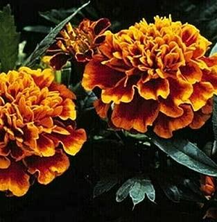 marigold janie flame
