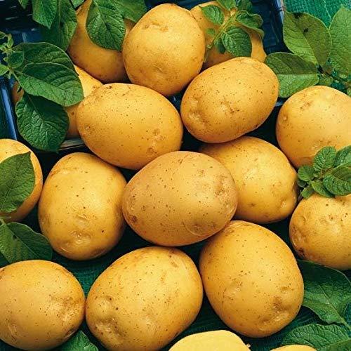 Rarität 200pcs Kartoffel