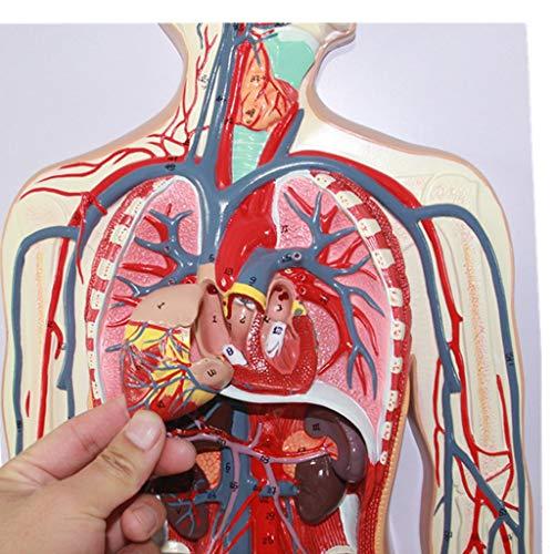 WJH Anatomía Humana Modelo - Sistema circulatorio de la San