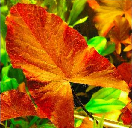 WFW wasserflora Roter Tigerlotus Knolle+Trieb/Nymphaea Lotus VAR. rubra