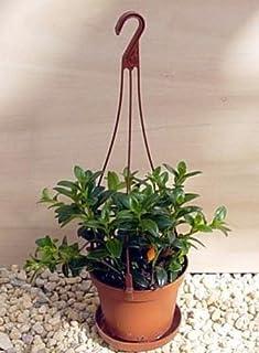 "jmbamboo-Goldfish Plant - 4"" Hanging Basket - Blooms Constantly!"