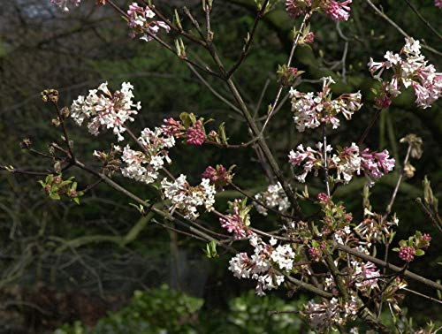 Winterschneeball Viburnum bodnantense 'Dawn' im Topf gewachsen ca. 60-80cm
