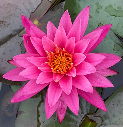 Live Aquatic Plant Nymphaea Mayla RED Color HARDY Water Lily TUBER for Aquarium Freshwater Fish Pond BUY 2 GET 1 FREE by JustNature