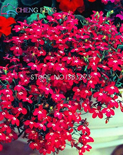 VISTARIC Hellgrau: 50pcs / bag Plumeria (Frangipani, Hawaiikette Blume) Samen Seltene exotische Blumensamen Egg Blumensamen