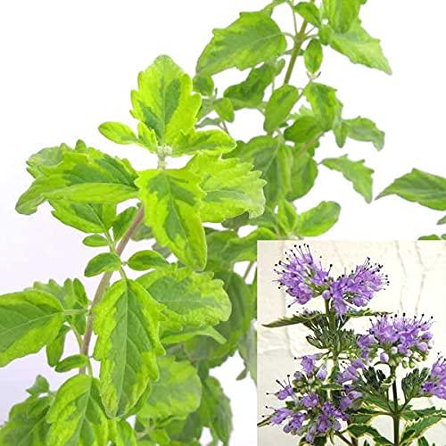 カリオプテリス:サマーソルベット2.5号ポット 3株セット[カラーリーフにブルーの花!花式部・ダンギクの仲間]
