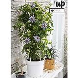 2x Passiflora Caerulea'Duuk' | Passiflore bleu | Plante grimpante d'extérieur | Hauteur 65-75cm | Pot Ø 14cm