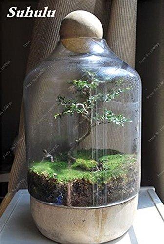 Vert mousse Graines 120 Pcs exotiques rares Graines Bonsai Moss Belle Moss Boule décorative Jardin créatif herbe Graines Plante en pot 5