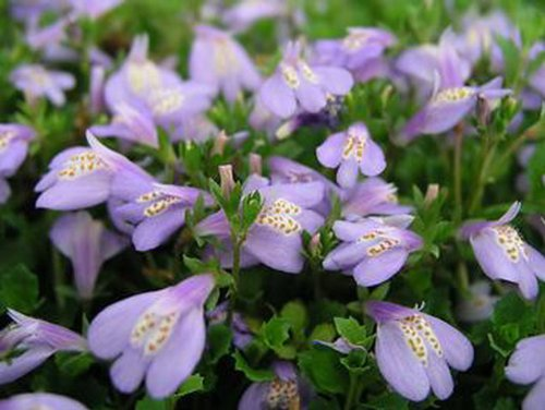 Violettes Lippenmäulchen / Mazus Reptans violett im 9×9 cm Topf - 2