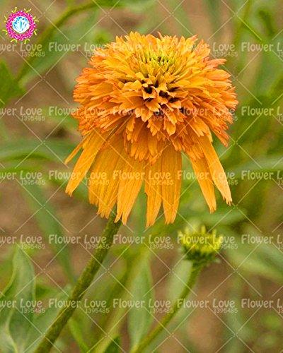 50PCS Rare orange Graines Echinacea vivace Graines de fleurs échinacée Showy Beaucoup-doublé capitules Plante en pot pour le jardin 4