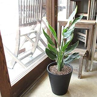 ストレリチア レギネ 極楽鳥花 ゴクラクチョウカ 7号鉢サイズ 黒色 セラアート鉢 鉢植え ストレチア ブラック 薫る花 観葉植物 おしゃれ インテリアグリーン 中型 小型