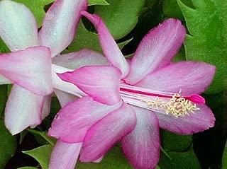 lavender cactus