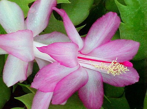 Lavender Christmas Cactus Plant-Zygocactus - 4' Pot