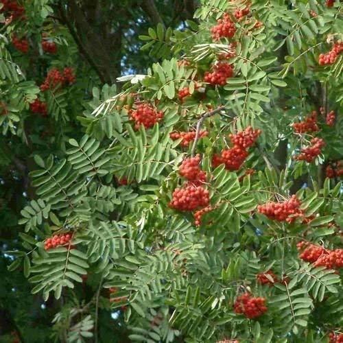 vegherb 50 Samen Europäische Eberesche Seeds (Sorbus aucuparia)