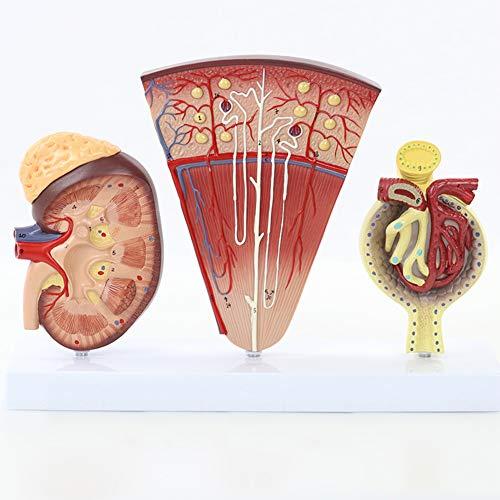 MXX Anatomisches Nierenmodell, 3 Teile, Zeigt die Struktur des Nierenprofils Nephronstruktur, Glomeruli Und Tubuli