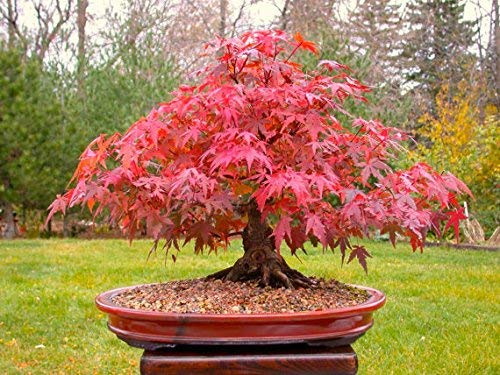Japanese Red Maple Bonsaï, Grow Your Own Arbre, Décoration de bureau, 20pcs / bag Seeds