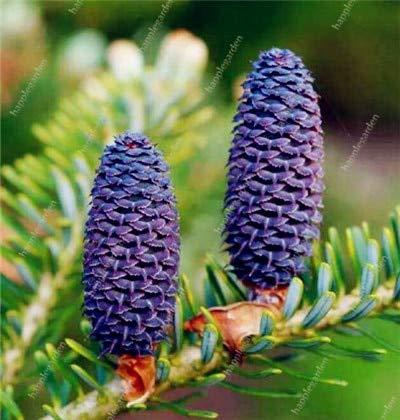 Ponak Nuevas 200 PC semillas de flores de Corea Abeto del Cáucaso para hermoso jardín azul