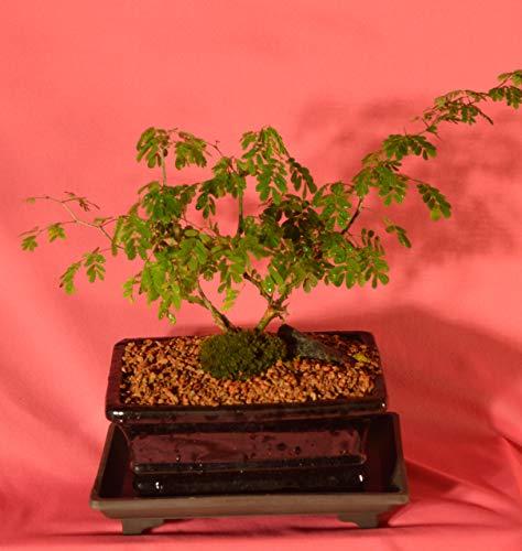 Indoor Bonsai, Brazilian Rain Tree, 5 Years Old, Broom Style with Free Watering Tray
