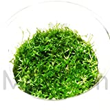 Mainam Riccia fluitans Crytalwort Live Aquarium Plant Decorations Tissue Culture 100% Pest Free Freshwater Aquatic Tank Imported Direct from Grower.
