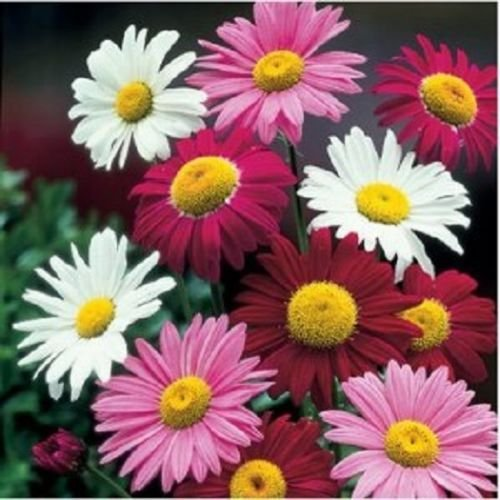 50 graines - Robinson géant Painted Daisy Mix Chrysanthemum