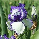 3 x Iris Germanica 'Loop the Loop'- Plante Vivace à Fleur Bicolore Blanche et Bleu Violacé