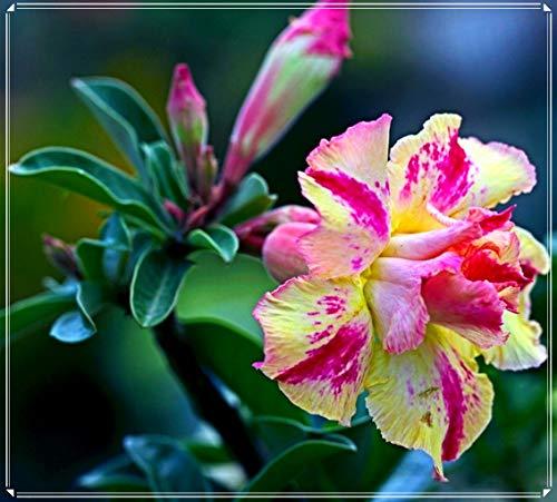 Rosa Del Desierto Planta,Plantas Orgánicas, Plantas Fuertes Y Hermosas,Flores Muy Hermosas,Plantas Duraderas,Hermosas-2 Bulbos,2
