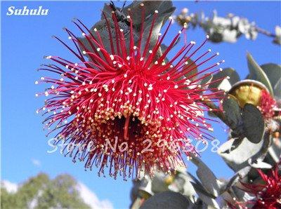Vente! 100 pcs/sac rares Eucalyptus Graines géant Arbre tropical Graines Angiosperme pour jardin plantation en plein air Bonsai cadeau 22