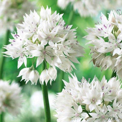 Allium Graceful Beauty - 5 Zwiebeln Zierlauch/Kugellauch - Blumenzwiebeln zum Pflanzen und Verwildern, Blüten in Weiß, mehrjährig, winterhart von Garten Schlüter