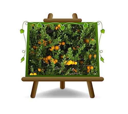 Citrus Orange Douce - Citrus sinensis d'arbres fruitiers en pot 28-130 cm max