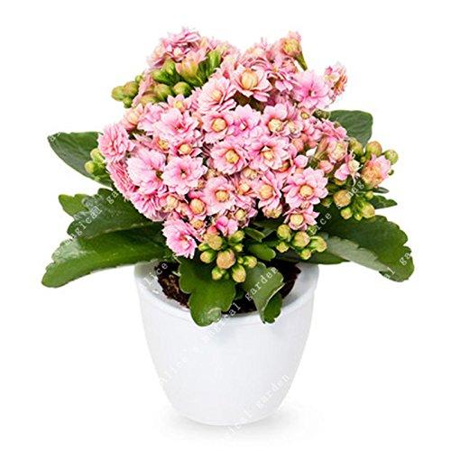 ZLKING 100 PC / paquete siembra longevidad de flores Semillas de Kalanchoe Novel mini oficina de la planta Bonsai decoración del jardín de flores perenne 3