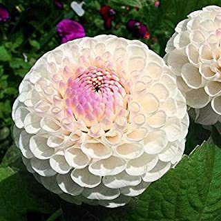 Dahlia Dinnerplate Mystery Day (1 Tuber) The Beauty of These Dahlias are no Mystery Day or Night, Great Cut Flowers,Blooms Summer to Fall
