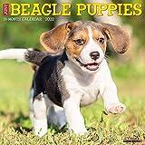 Just Beagle Puppies 2022 Wall Calendar
