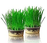 purr paw Organic Cat Grass Plants for Indoors (x2) Grow Kits - Just Add Water