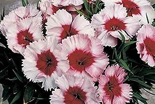 25 Seeds Dianthus Parfait Super Strawberry AB053