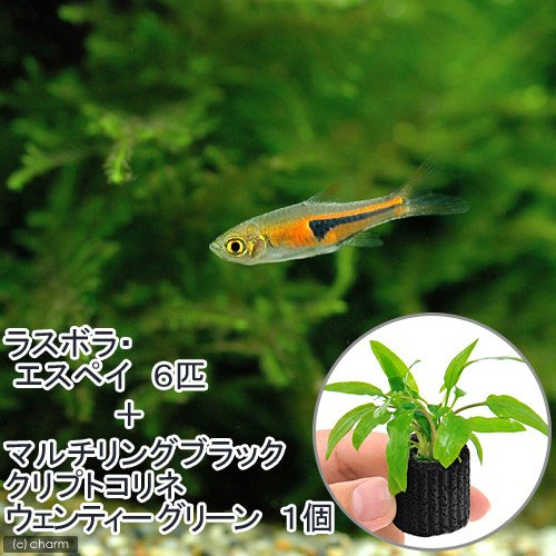 (熱帯魚)(水草)ラスボラ・エスペイ(6匹)+マルチリングブラック(黒)クリプトコリネ ウェンティーグリーン(1個) 北海道航空便要保温
