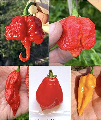 50 GRAINES Pure de les PIMENT CHILI les plus PIQUANT, SAVOUREUX et BONNES DU MONDE, La Collection 5 Bis: CAROLINA REAPER ROUGE, TRINIDAD MORUGA SCORPION ROUGE, BHUT JOLOKIA - GHOST CHILI ROUGE, HABANERO RED SAVINA, FATALII + GUIDE